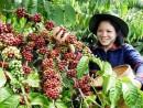 Chỉ dẫn địa lý Cà phê Buôn Ma Thuột: Nâng tầm giá trị cà phê Việt